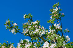 Blühender Apfelzweig Stockfoto