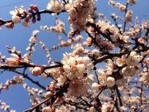 Blühender Aprikosenbaum auf dem blauen Himmel lizenzfreie stockfotos