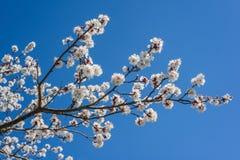 Blühender Aprikosenbaum des Frühlinges Stockfoto