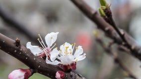Blühender Aprikosenbaum im Frühjahr Lizenzfreie Stockfotografie