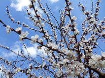 Blühender Aprikosenbaum unter blauem Himmel mit Wolken Stockfoto