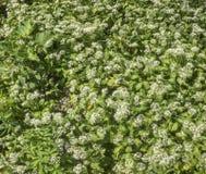 Flourishing wild garlic. Forest ground with flourishing wild garlic plants royalty free stock images