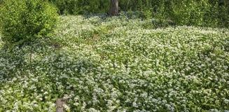 Flourishing wild garlic plants. Waldboden mit blühenden Bärlauchpflanzen; forest ground with flourishing wild garlic plants stock photos