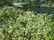 Flourishing wild garlic plants. Forest ground with flourishing wild garlic plants stock photos