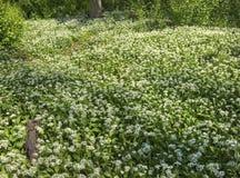 Flourishing wild garlic plants. Forest ground with flourishing wild garlic plants stock images