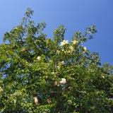 Blühender Baobabbaum lizenzfreie stockfotografie