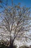 Blühender Baum Stockfoto