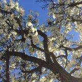 blühender Baum lizenzfreie stockfotografie
