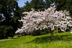 Blühender Baum auf Lichtung Lizenzfreies Stockfoto