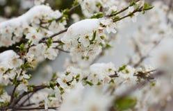 Blühender Baum im Schnee Lizenzfreie Stockfotografie