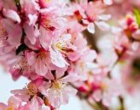 Blühender Baum der rosafarbenen Blumen Lizenzfreies Stockfoto