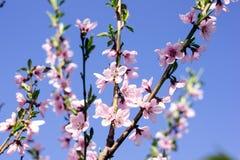 Blühender Baum des Frühlinges Stockbilder