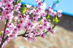 Blühender Baum des Frühlinges Lizenzfreies Stockbild