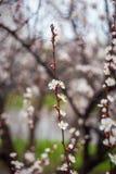 Blühender Baum des schönen Frühlinges mit vielen Blumen Stockbild