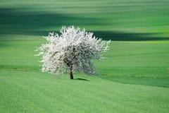 Blühender Baum in einer grünen Wiese Stockbilder
