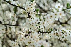 Blühender Baum - Hintergrund Stockfotos