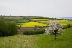 Blühender Baum im Frühjahr in der landwirtschaftlichen Landschaft Lizenzfreies Stockfoto