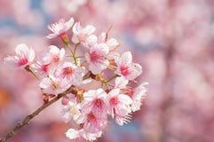 Blühender Baum im Frühjahr mit rosafarbenen Blumen Lizenzfreie Stockfotografie