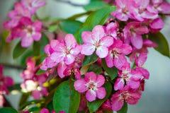 Blühender Baum im Frühjahr mit rosafarbenen Blumen Stockfotografie