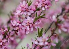 Blühender Baum im Frühjahr mit rosafarbenen Blumen Kirschpflaumenbaum Makro stockfotos