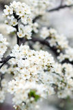 Blühender Baum im Frühjahr mit weißen Blumen Lizenzfreies Stockfoto