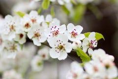 Blühender Baum im Frühjahr mit weißen Blumen Lizenzfreie Stockfotos