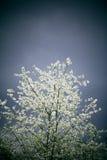 Blühender Baum im Sturm Lizenzfreies Stockbild