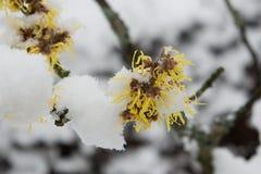 Blühender Baum im Winter Stockfotos