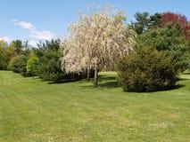 Blühender Baum und Evergreens durch einen grünen Rasen stockfoto