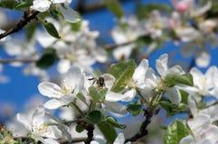 Blühender Baum von ein Applebaum im Frühjahr Stockfotos