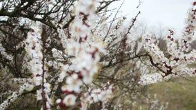 blühender Baum Weiße Blumen auf einem Park des Baums im Frühjahr Weiße Blumen der Kirsche und der roten Tulpen stock video footage