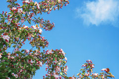 Blühender Baumast auf Hintergrund des blauen Himmels Lizenzfreie Stockfotos