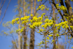 Blühender Baumast von Acer-platanoides gegen blauen Himmel Lizenzfreies Stockbild
