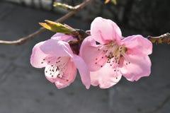 Blühender Baumast, zacken Blumen aus Lizenzfreie Stockfotografie