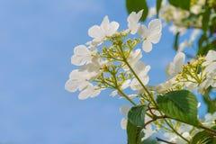 Blühender Baumbrunch mit weißen Blumen Stockfoto
