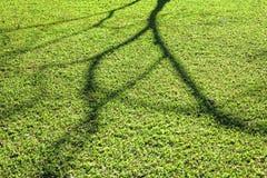 blühender Baumschatten auf dem kurzen grünen Gras unter Morgen sunl Lizenzfreies Stockfoto