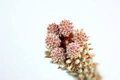 Blühender Bergkiefer, Pinus mugo Lizenzfreie Stockfotos