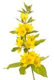 Blühender beschmutzter Felberich Stockbild