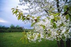 Blühender Birnenbaum Stockfotografie