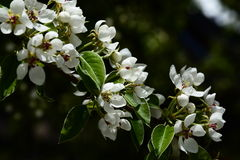 Blühender Birnenbaum Stockfoto