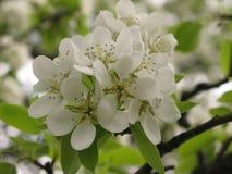 Blühender Birnenbaum Stockbild