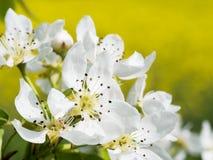 Blühender Birnenbaum, Detail Stockbild