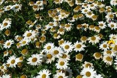 Blühender blühender weiße Blumen-Hintergrund mit grünen Blättern stockfoto
