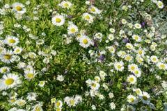 Blühender blühender weiße Blumen-Hintergrund mit grünen Blättern stockfotografie