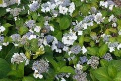 Blühender blühender weiße Blumen-Hintergrund mit grünen Blättern lizenzfreie stockfotos