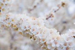 Blühender Brunch der Kirschpflaume mit Blumen im schönen Licht Stockfotos