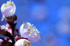 Blühender Brunch des Frühlinges Lizenzfreies Stockfoto