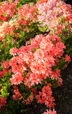 Blühender Busch des Frühlinges lizenzfreies stockbild