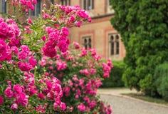 Blühender Busch einer Rose Allgemeine Ansicht Lizenzfreies Stockbild