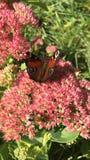 Blühender Busch Hylotelephium, das im Sommer spectabile ist, arbeiten im Garten Stockfotografie